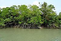 Mangroves in Sundarban