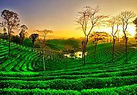 THE TEA CAPITAL OF INDIA: ASSAM