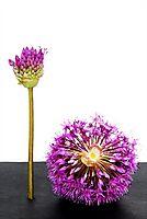 Allium Flowers Pictures